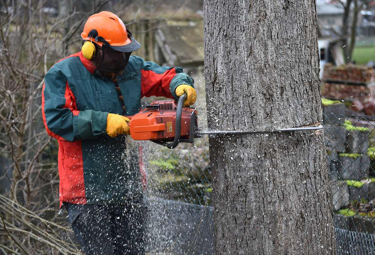 Chainsaw user showing how to fell a tree
